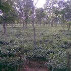 tea garden in assam .........from india........
