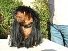 Teckel à poils longs
