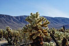 Teddy-Bear-Cholla Cactus
