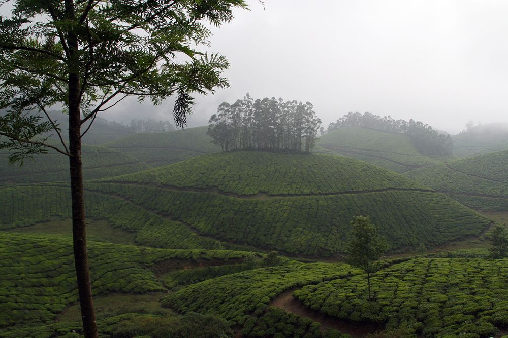 TEE Plantagen Nebel Indien Kerala +TEXT