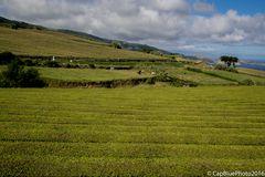 Teeanbaugebiet bei Maia der Firma Cha Gorreana