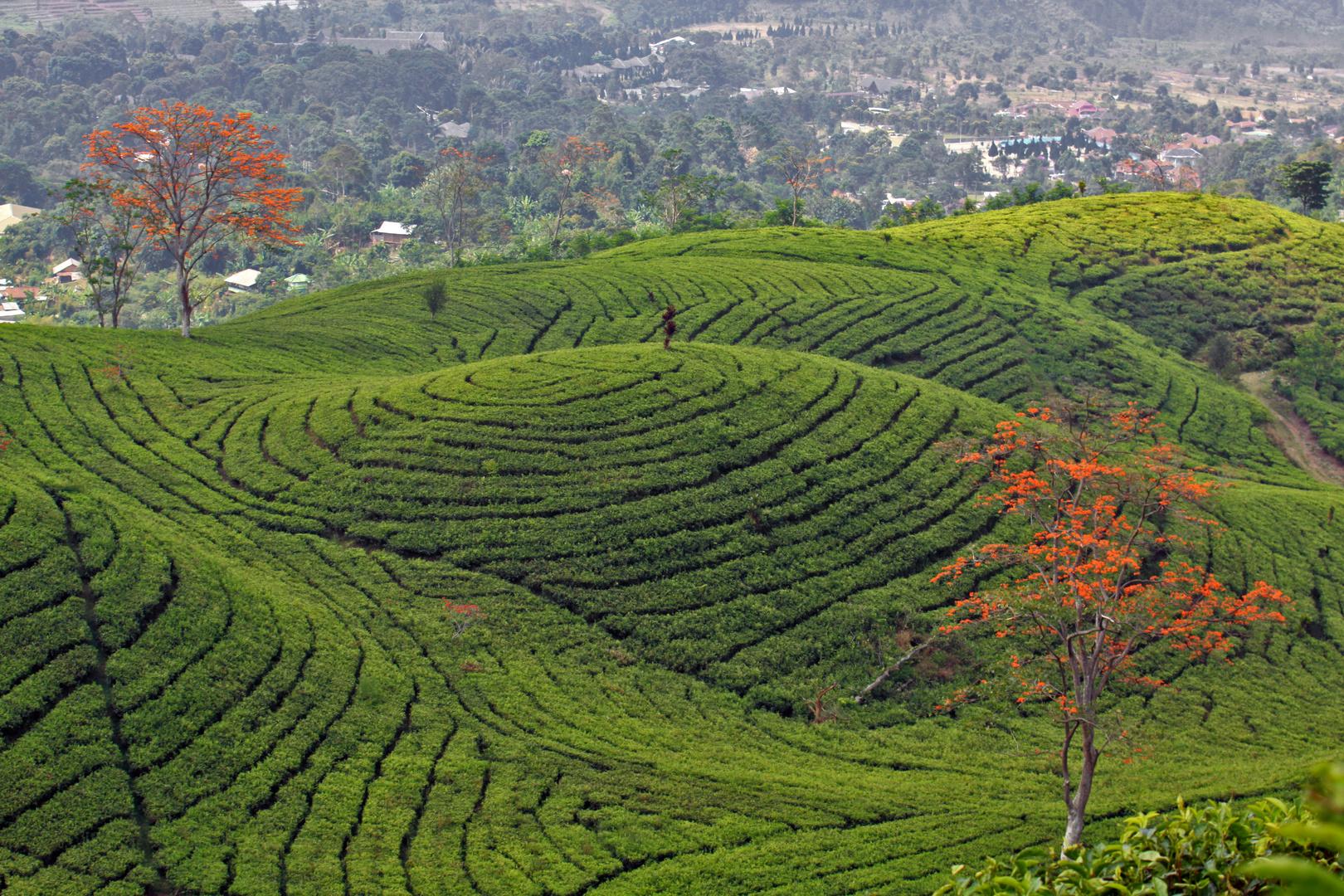 Teefelder auf Java/Indonesien