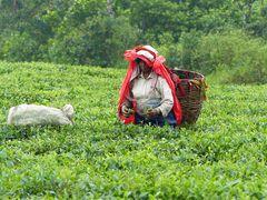 Teepflückerin im Regen