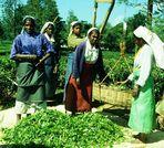 Teepflückerinnen Sri Lanka 2001