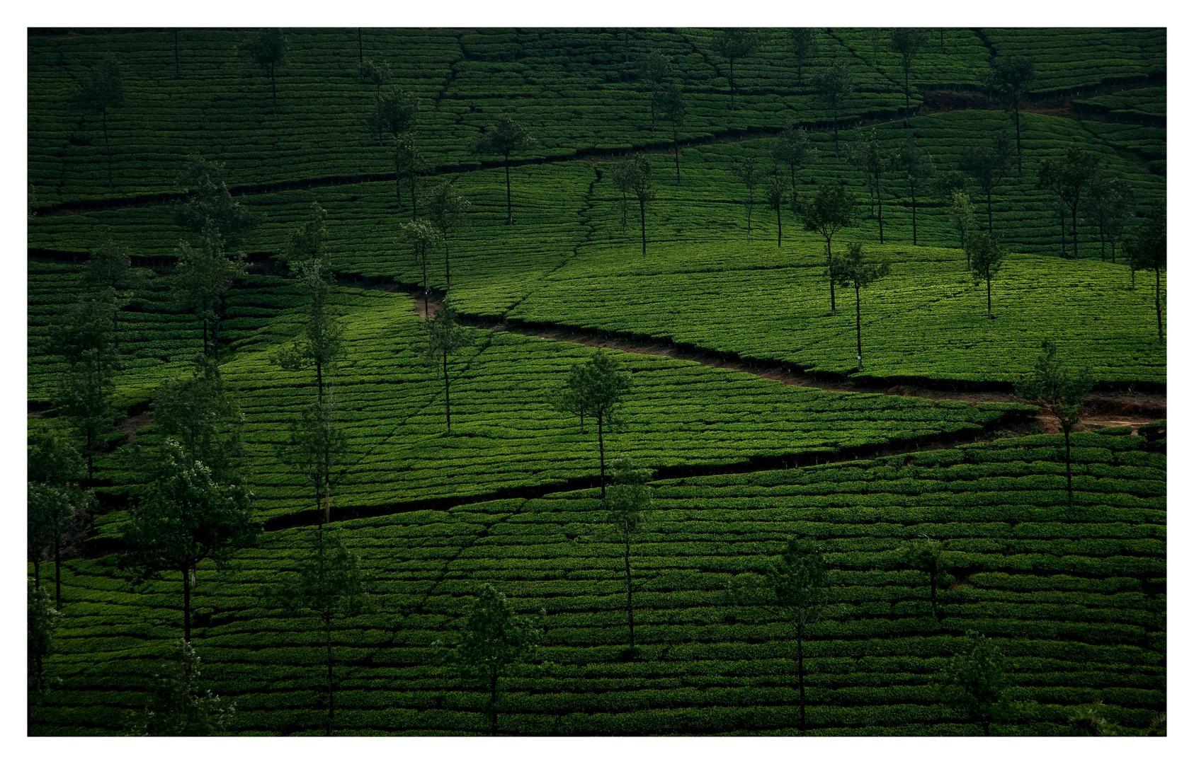 Teeplantage in den Western Ghats