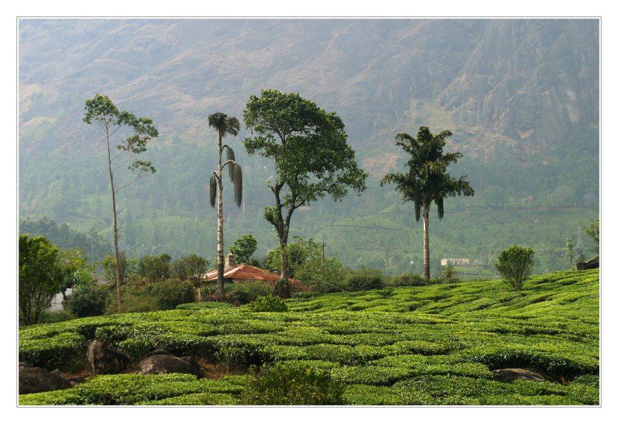 Teeplantagen II