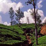 Teeplantagen, Sri Lanka