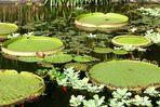 Teich der Lotosblüten