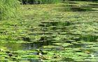 Teich mit Teichrosen bei Germersheim