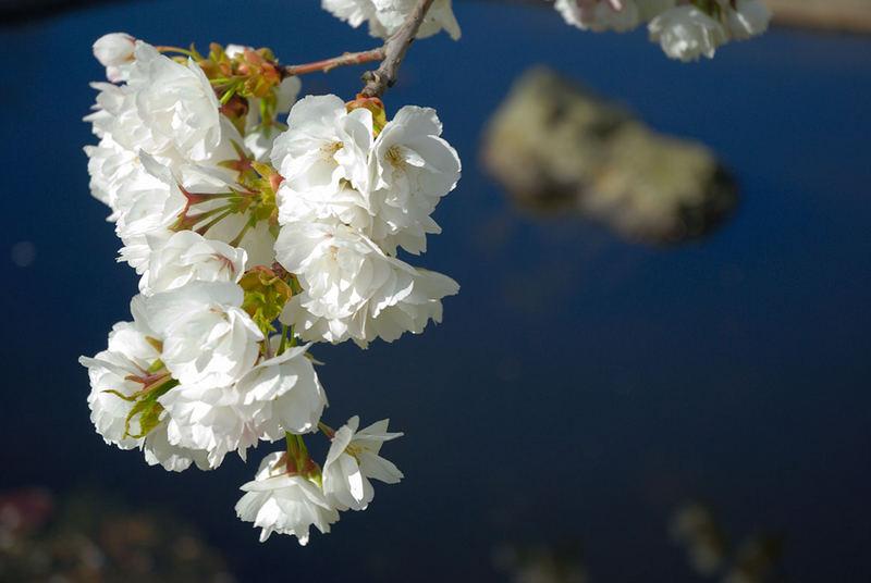 Teich und Kirschblüten