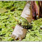 Teichfrosch beim Sonnenbad (2)
