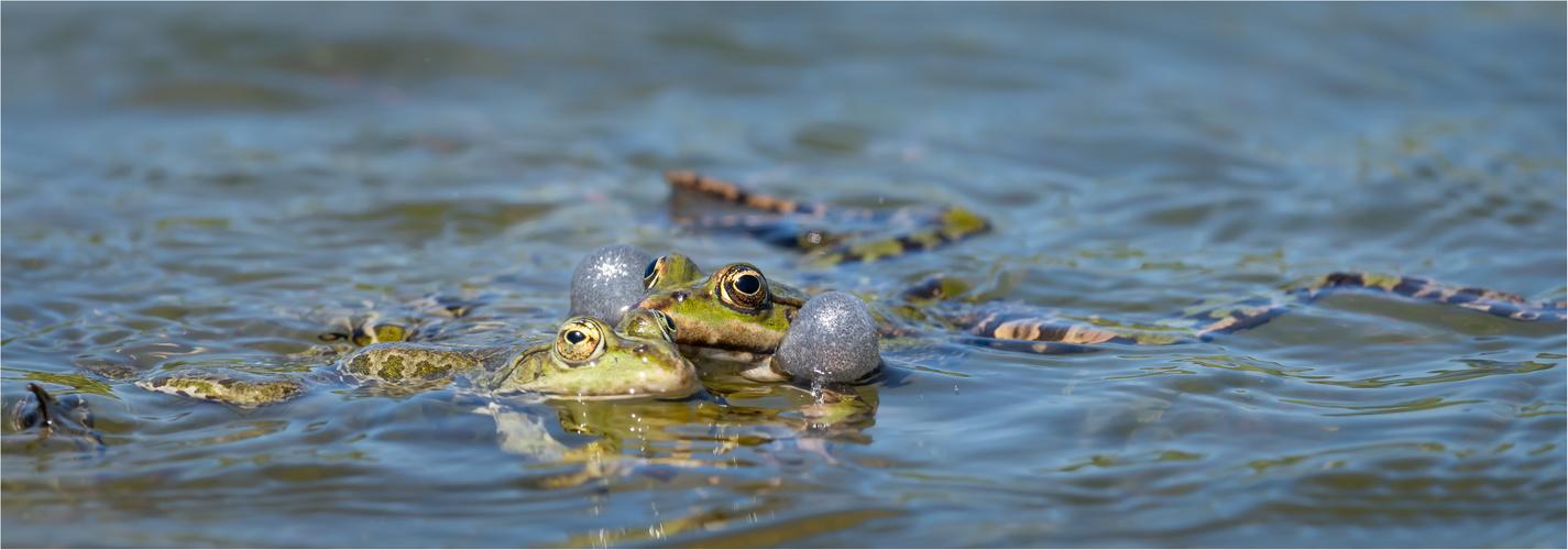 Teichfrosch - Paarungszeit