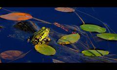 "Teichfrosch (Pelophylax ""esculentus"" oder Rana ""esculenta"")"