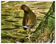 Teichhuhn am Langwassersee
