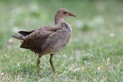 Teichhuhn (Jungvogel)