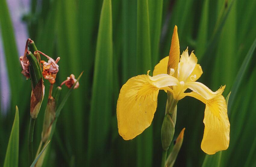 Teichpflanzen, blühend und verblüht