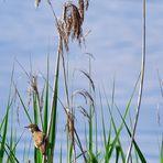 Teichrohrsänger (Acrocephalus scirpaceus), Eurasian reed warbler, Carricero común