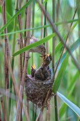 Teichrohrsänger mit Nest