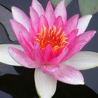 Teichrose in rosa