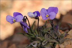 ~ Teide-Veilchen ~