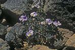Teide-Veilchen