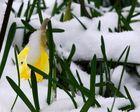 Teilansicht der Narzisse(Narcissus pseudonarcissus) im Winter