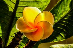 Tempelbaum-Blüte