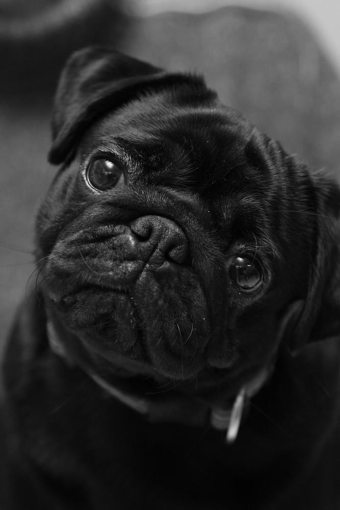Temperamentvoll und intelligent, kein Schoßhund, der Mops !