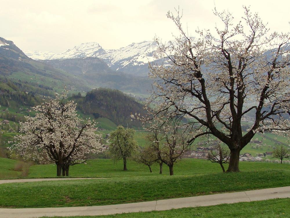 temps des cerisiers en fleurs..02