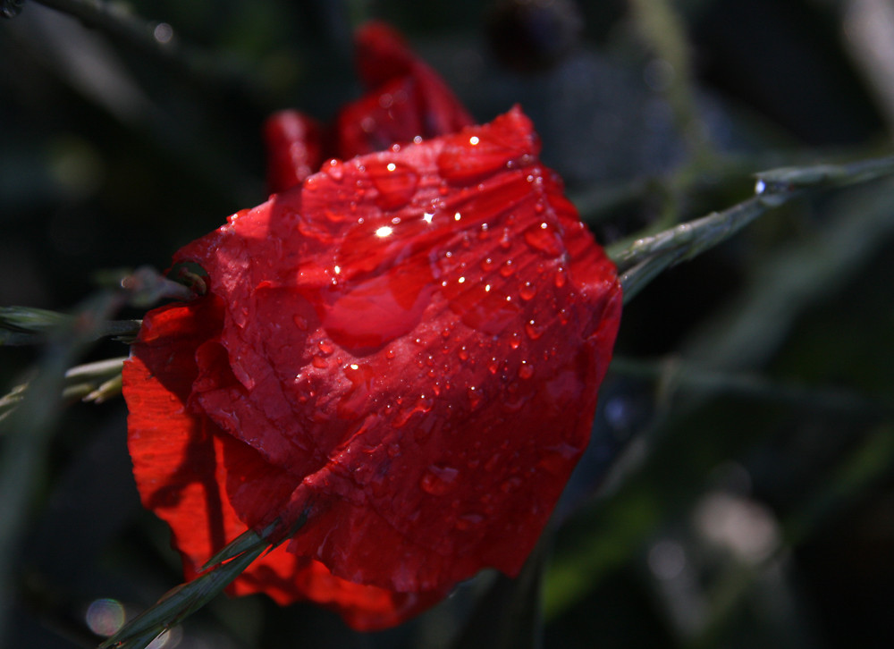 Ten moments in east Hungary: Poppy after rain