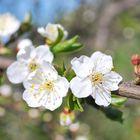 Tender Cherry Flower