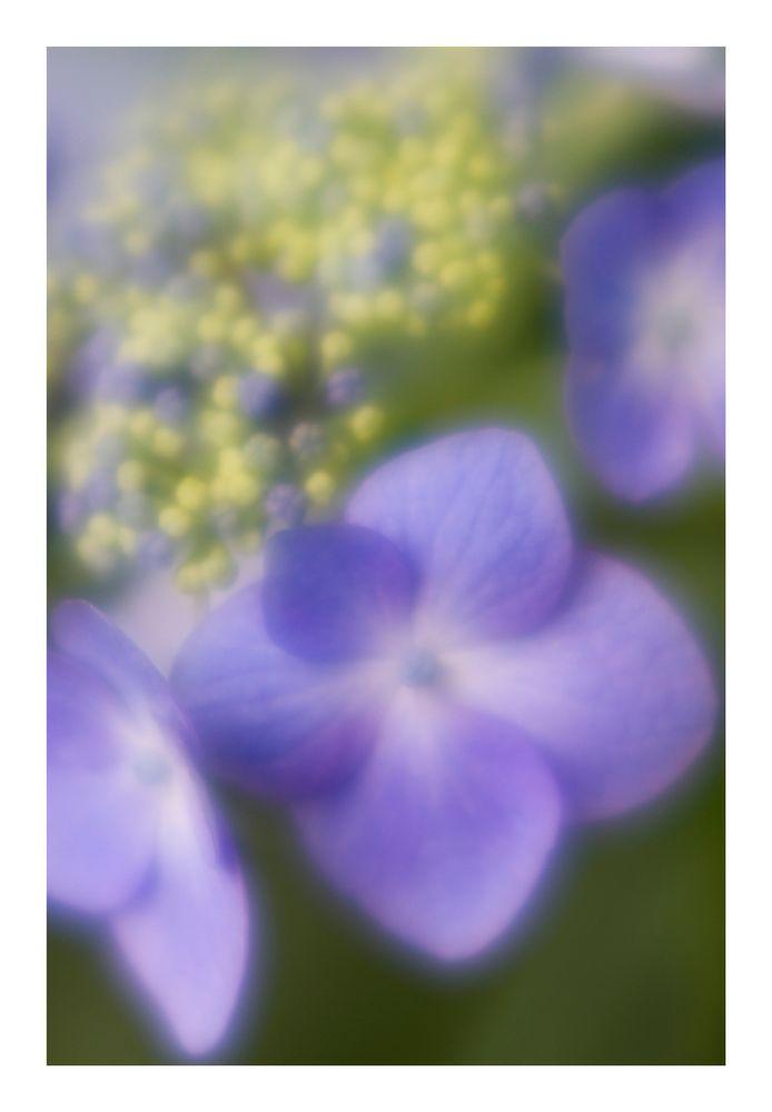 Tender Violet