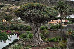Teneriffa - Drachenbaum in Icod de los Vinos