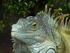 Teneriffa - Leguan im Loro-Park