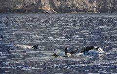 Teneriffa - Pilotwale vor der Steilküste
