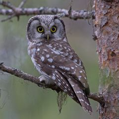Tengmalm´s owl (Raufußkauz)