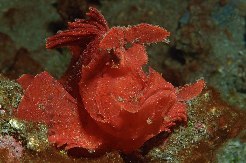 Tentakel-Schluckspecht (Rhinopias)