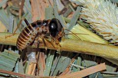 Termite (Hodotermes mossambicus, ca. 7mm lang) beim Schneiden von Pflanzen. (4)