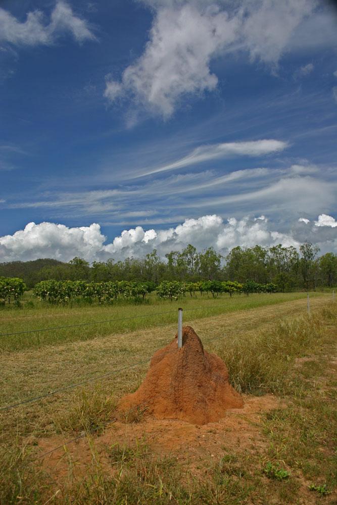 Termitenhügel vor Mangoplantage