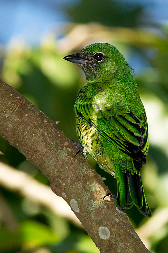 Tersina viridis (hembra)