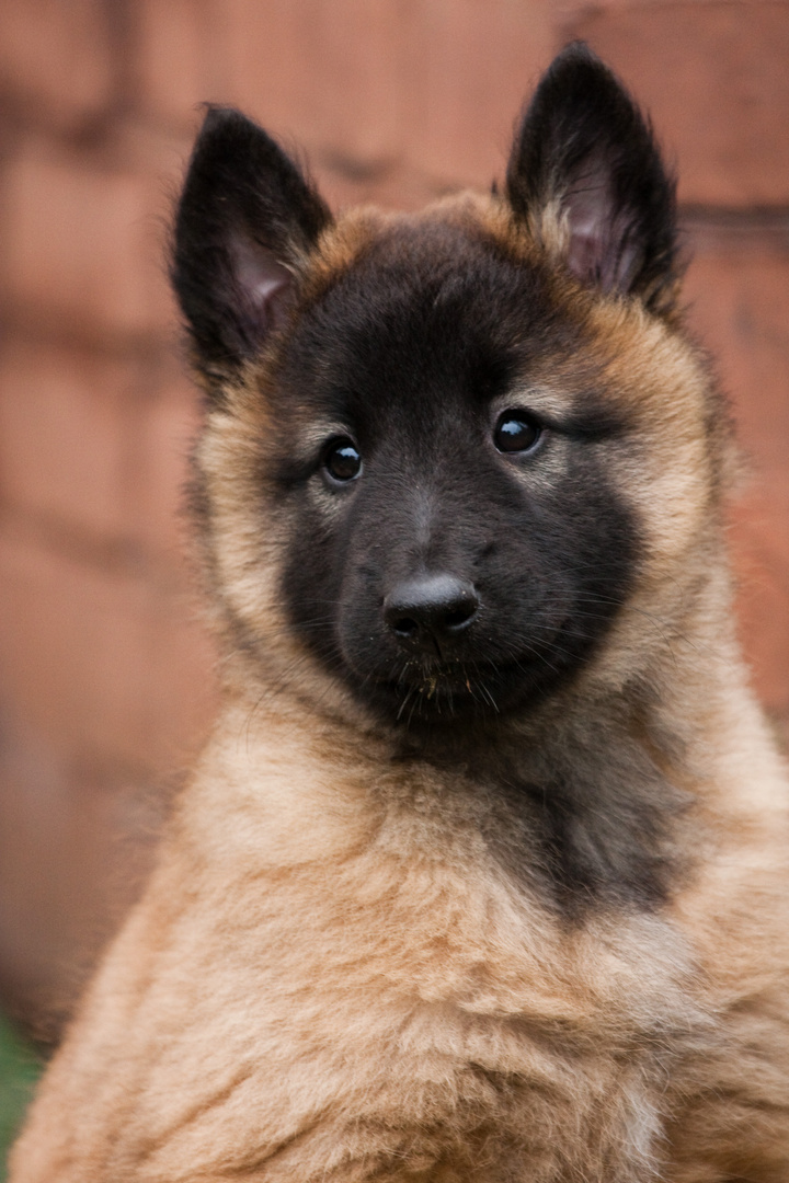 belgischen schäferhund