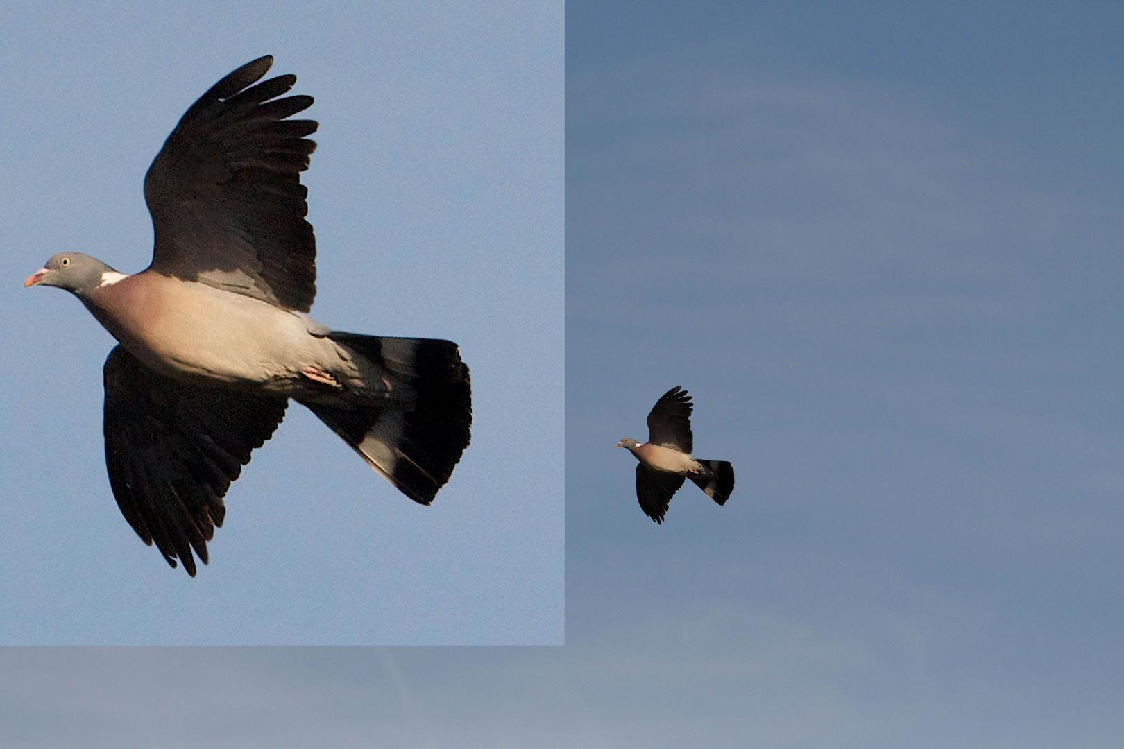 TEST SIGMA 120-400 pigeon en vol
