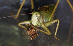 Tettigonia viridissima -Cannibalism in animals