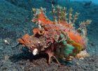 Teufel-Skorpionsfisch