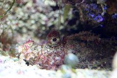 Teufelsfisch