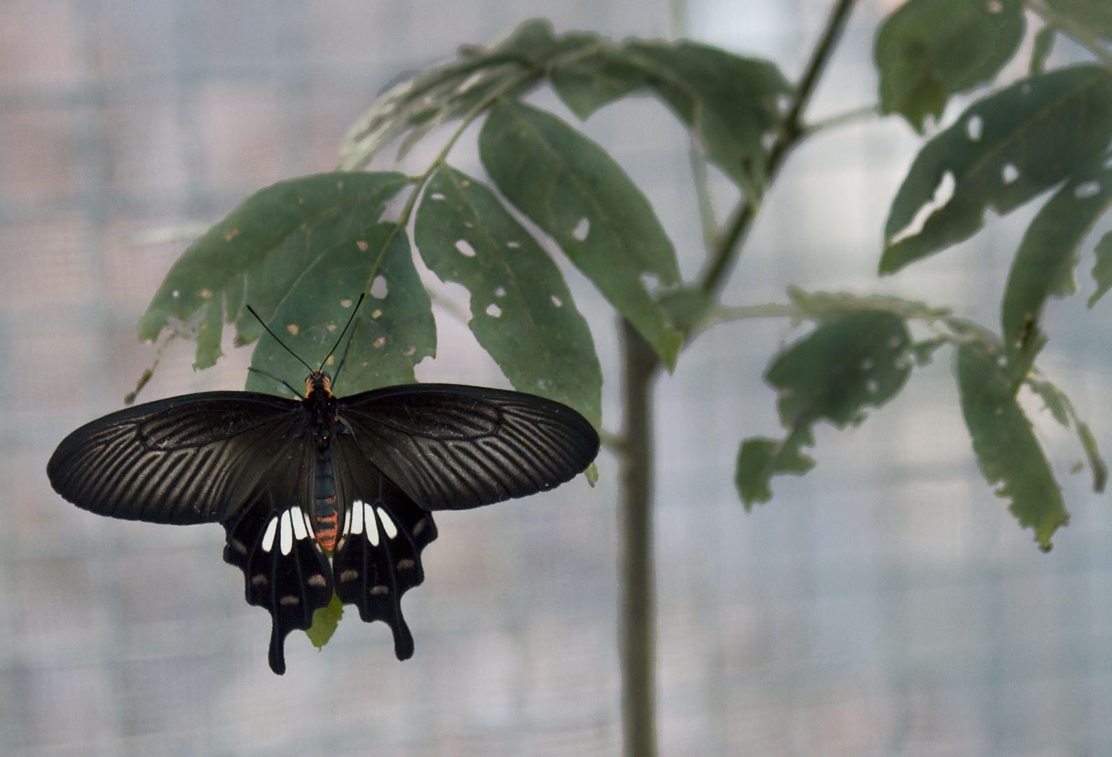 Thailand. Schmetterling