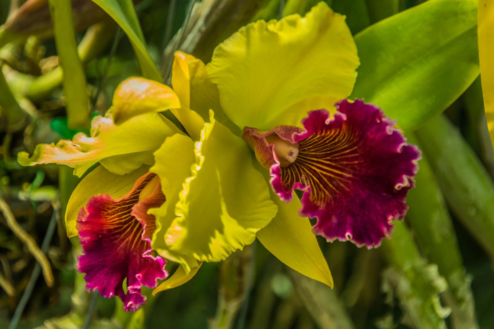 Thailands Blüten V - Orchideen
