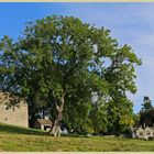 the ash tree at Holystone grange