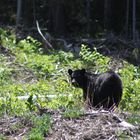 the bear i saw almost every day for 2 weeks