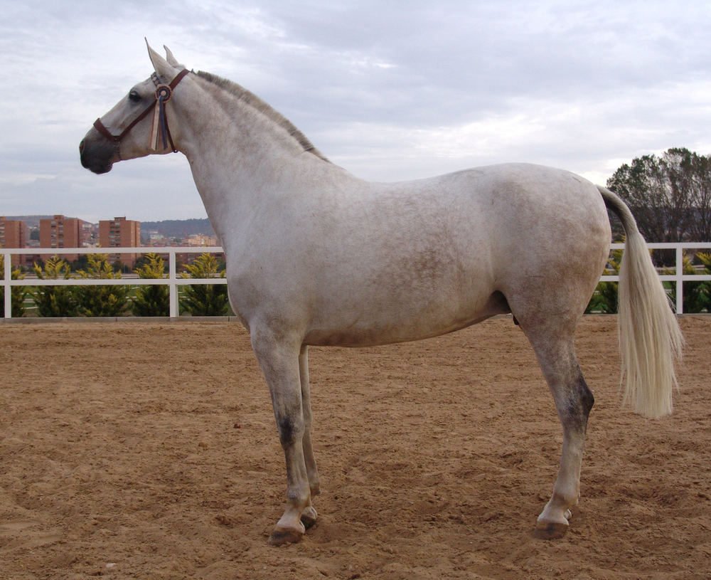 The best mare of Pure Spanish Bred